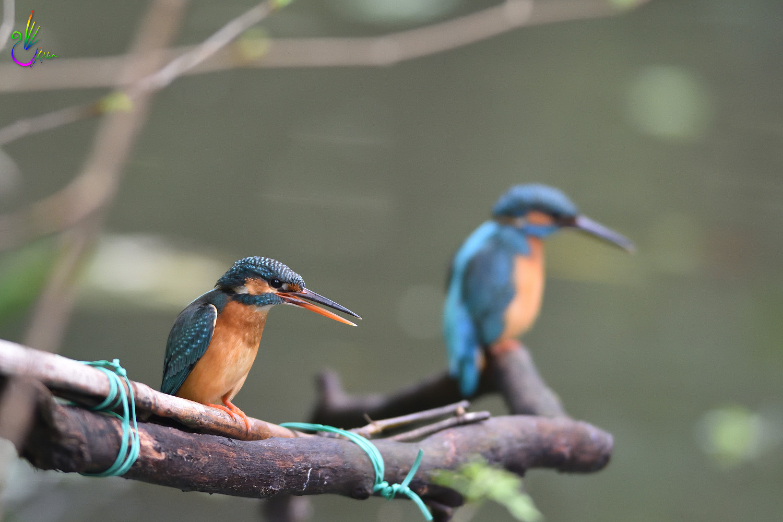 Common_Kingfisher_4256