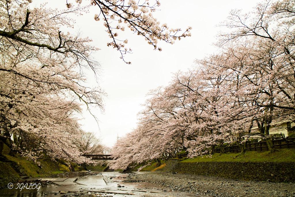 七谷川の桜 02