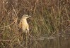 Squacco Heron (Ardeola ralloides) by piazzi1969