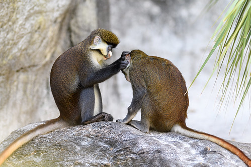 Guenon Monkeys Grooming