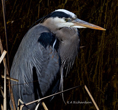 Great Blue Heron - 8