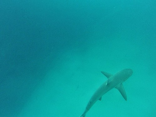 Snorkelling with Sharks at San Cristobal