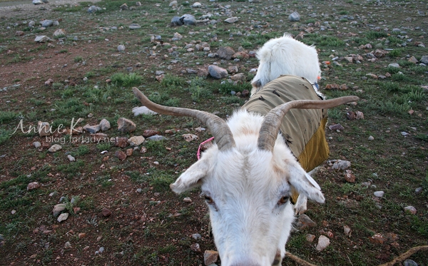 納木措的羊