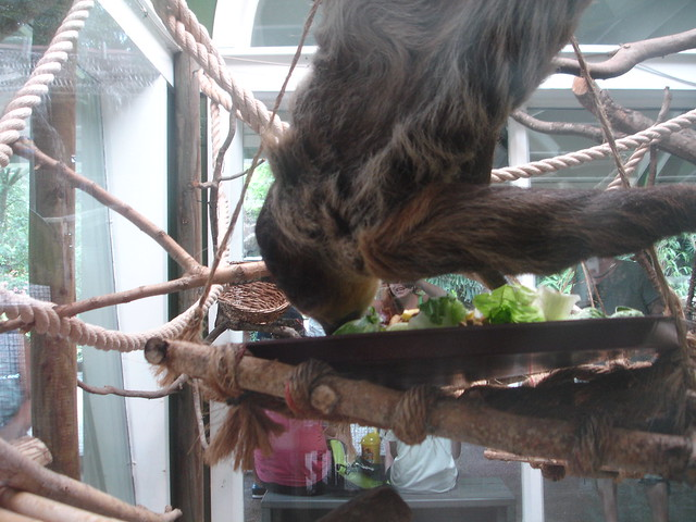 We actually saw a two-toed sloth MOVE!