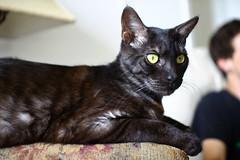 animal(1.0), small to medium-sized cats(1.0), pet(1.0), mammal(1.0), european shorthair(1.0), oriental shorthair(1.0), bombay(1.0), cat(1.0), korat(1.0), burmese(1.0), whiskers(1.0), domestic short-haired cat(1.0),