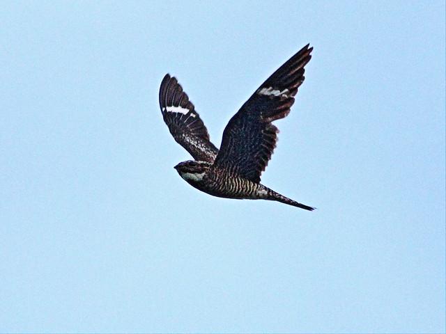 Common Nighthawk 20130719