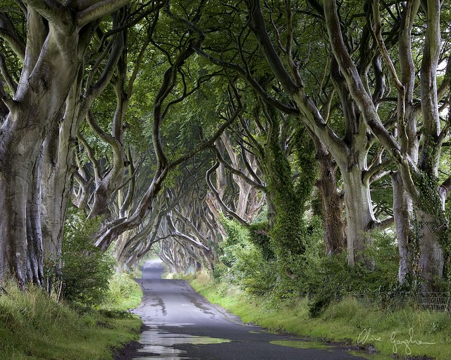 Emerald Dark Hedges
