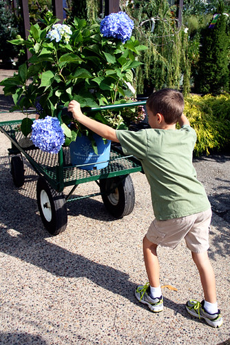 Nathan-pushing-hydrangea-cart