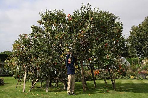 英国一棵果树结出250个不同品种苹果(图)