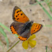 Small photo of Small Copper. Lycaena phlaeas. Early brood.