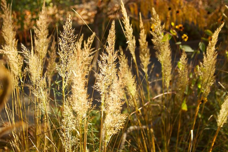 calamagrostis brachytricha sunny  3684