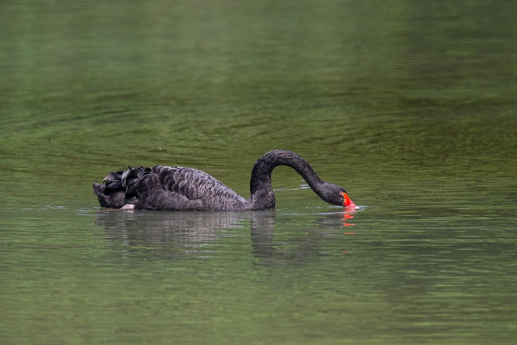 黑天鵝-8635