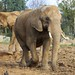 Small photo of African elephants