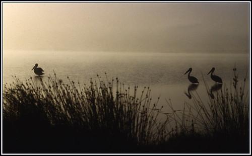 seascape film pelicans water birds sunrise reeds denmark pentax pelican inlet programa greatsouthern pentaxsupera wilsoninlet supera pentaxkmount justpentax pentaxart
