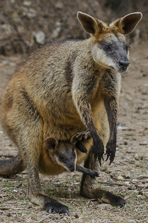 wallaby mom and joey