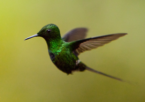 Hummingbird at Mashpi Lodge, Ecuador