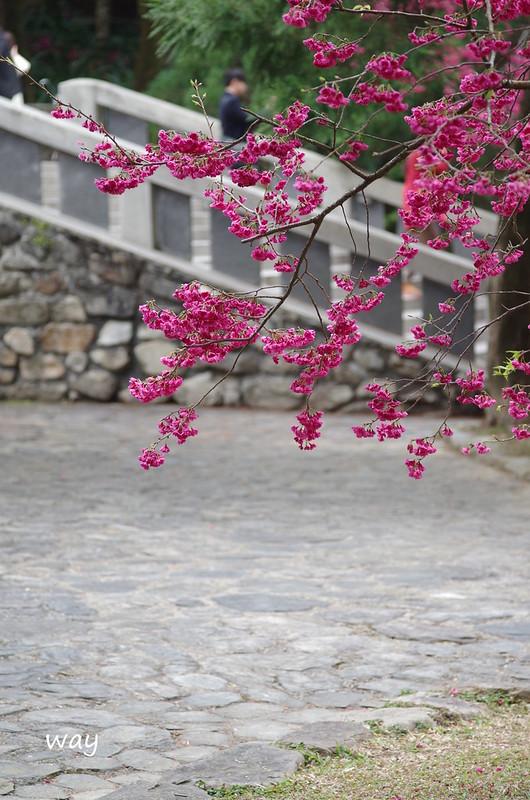 又是櫻花~