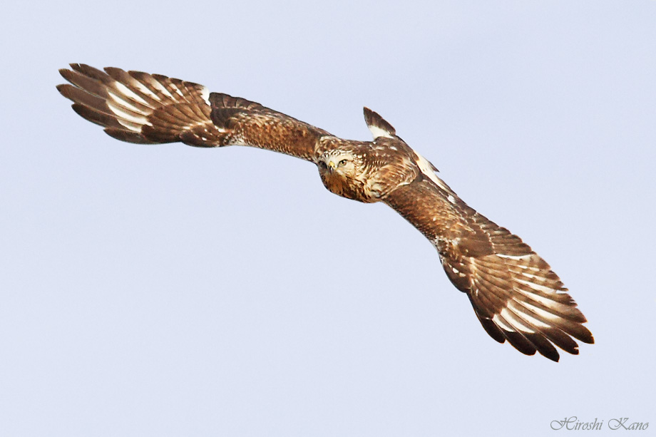 Rough-Legged Hawk 121713-01