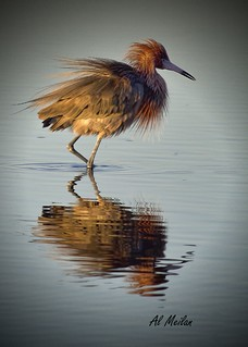 Reddish Egret At Sunrise 2