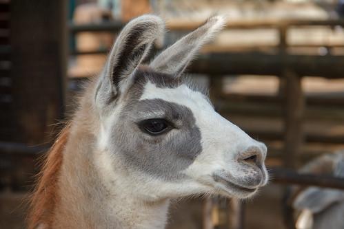 eye face zoo llama houston earthtone ef100400mmf4556lisusm