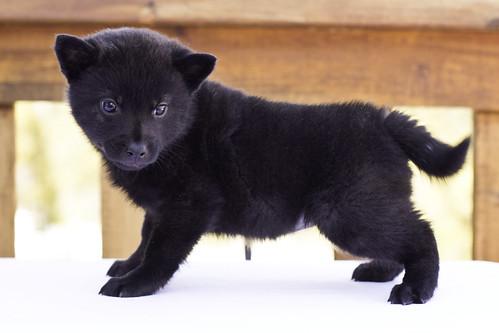 Nami-Litter1-Day40-Puppy1-Female(Kiyomi)-4
