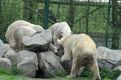 Eisbären Frimas, Henk, Pixel und Noordje  im Dierenrijk in Mierlo