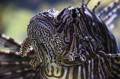 Lionfish DSC6010