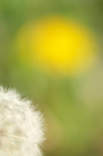 春の谷中フォトウォーク タンポポ 2014年4月10日