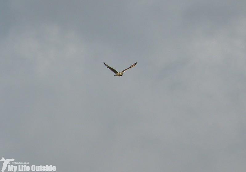P1150036 - Short Eared Owl, Ilkley Moor