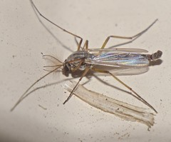 Mosquitoes and false mosquitoes of Whitsunday shire