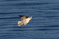 HolderGreat Black-backed Gull, Workington, Cumbria, England
