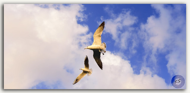 Seagulls in flight!