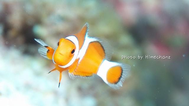 カクレクマノミ幼魚♪