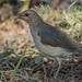 Small photo of African Thrush ...Gambia