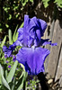 Beautiful Blue Iris