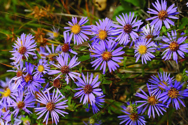 Eastern showy aster