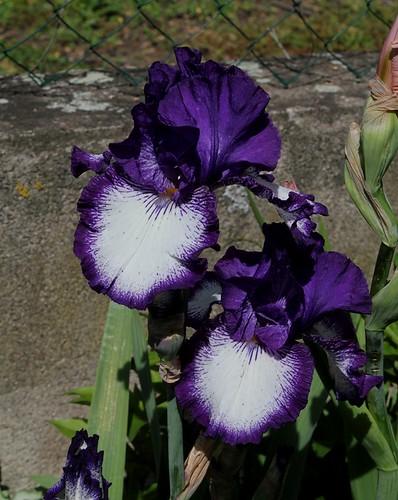 Iris Art Deco (5)