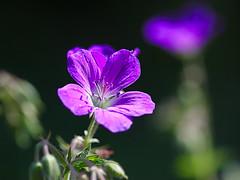 blossom(0.0), flower(1.0), purple(1.0), plant(1.0), nature(1.0), macro photography(1.0), wildflower(1.0), flora(1.0), green(1.0), close-up(1.0), plant stem(1.0), geraniales(1.0), petal(1.0),
