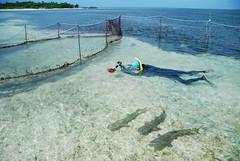 團隊先以圈養方式,確認鯊魚上標後能夠適應。簡毓群攝。