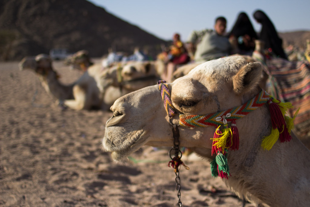 Camel Portraiture