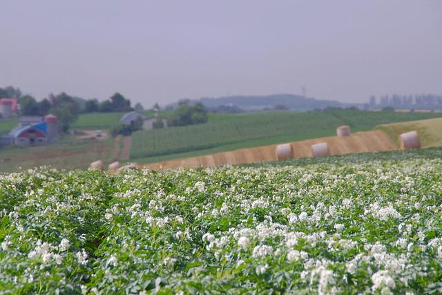 ジャガイモの花と麦稈ロール