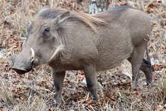 peccary(0.0), domestic pig(0.0), horn(0.0), grazing(0.0), animal(1.0), wild boar(1.0), pig(1.0), fauna(1.0), pig-like mammal(1.0), warthog(1.0), safari(1.0), wildlife(1.0),