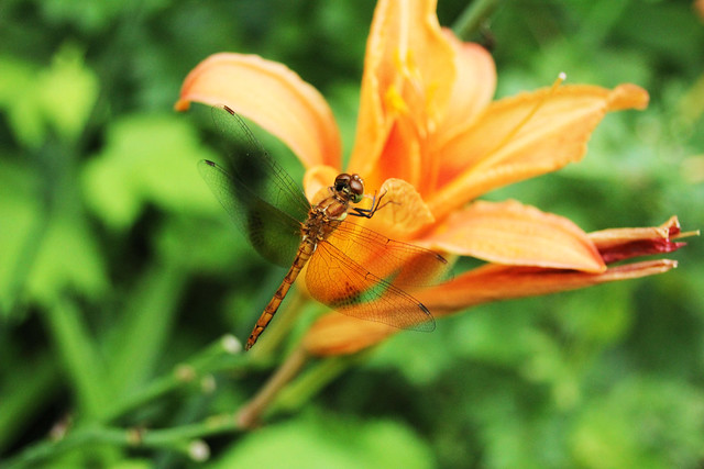 Stuyvesant Falls_dragon fly on lilly