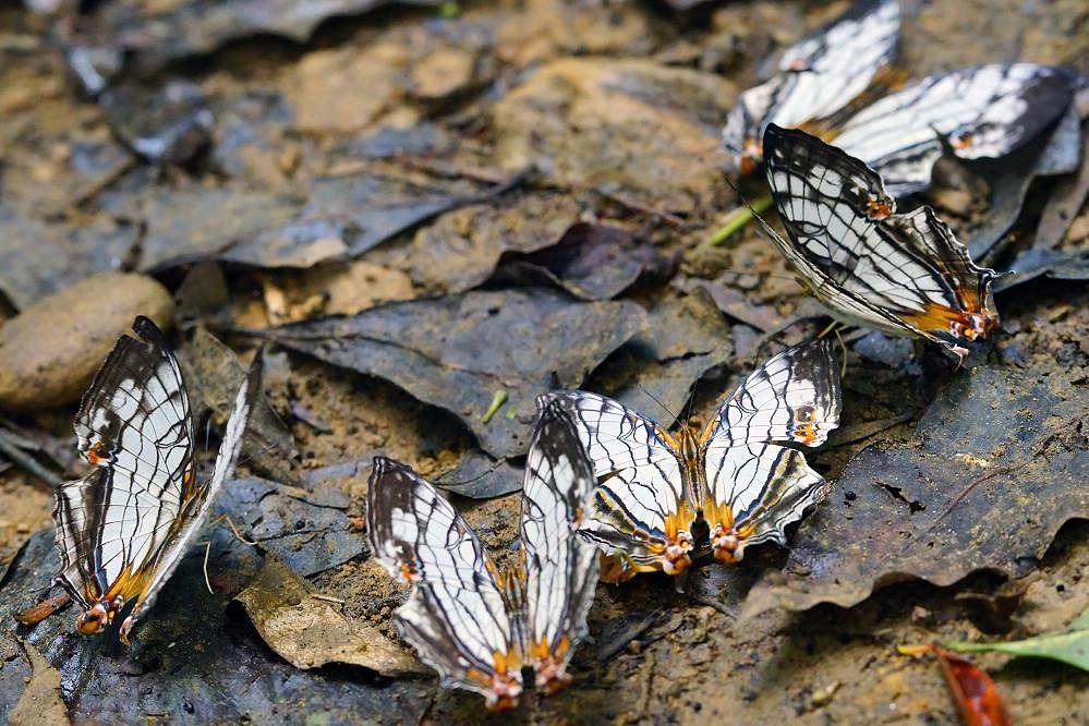 絲蛺蝶屬網絲蛺蝶-2
