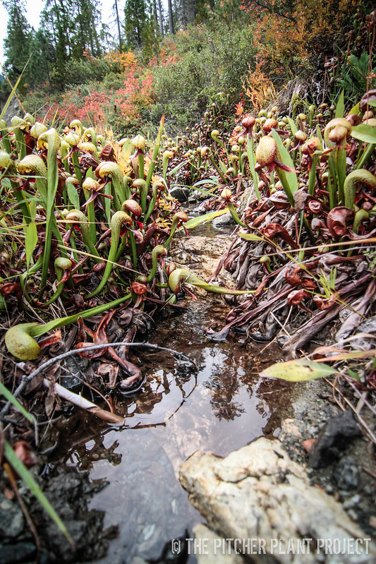 Darlingtonia 2013: Day 2
