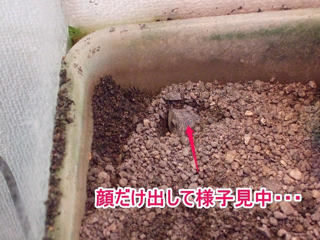 2013/11/24 ヒメハコヨコクビガメ 砂に潜って顔だけ出して様子見中の「みかん(WC メス)」2