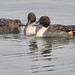 2013-12-09 Northern Pintail (02) by -jon