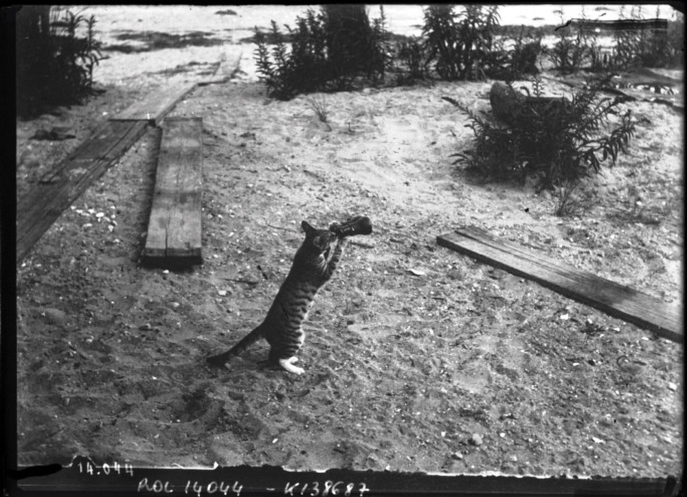 circa 1911: Cat drinking from a bottle and looking through a telescope