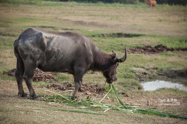 台南私藏景點--德元埤&老牛的家 (31)
