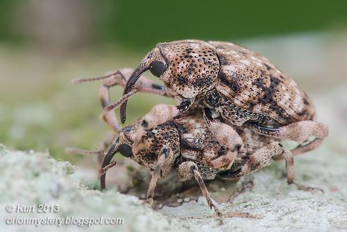 Mating Weevils IMG_4122 copy